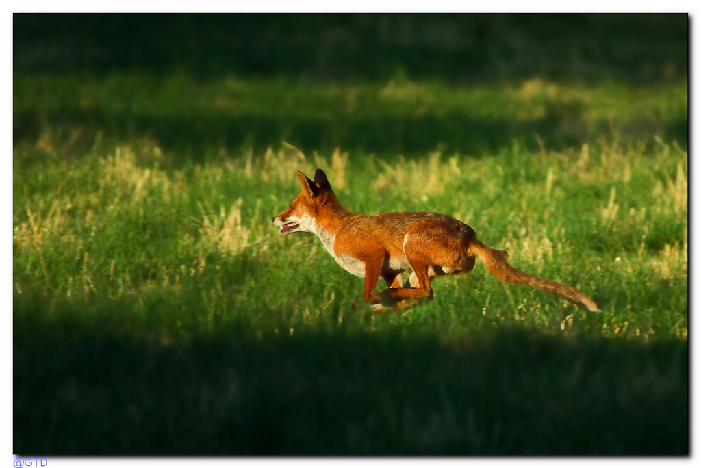Fuchs auf Jagd